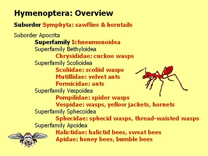 Hymenoptera: overview