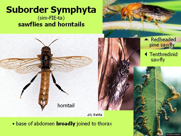 suborder Symphyta: sawflies & horntails