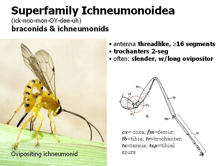 superfamily Ichneumonoidea: braconids & ichneumonids