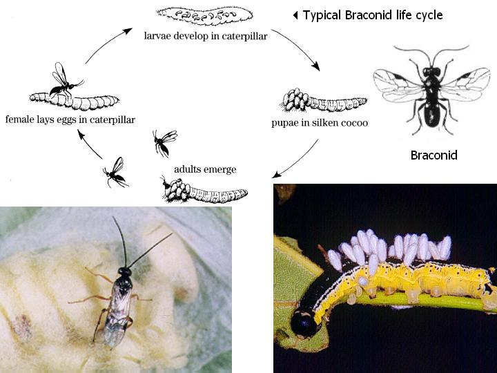 braconid life cycle