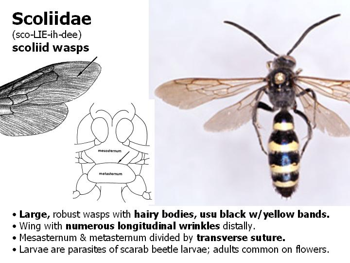 Scoliidae: scoliid wasps