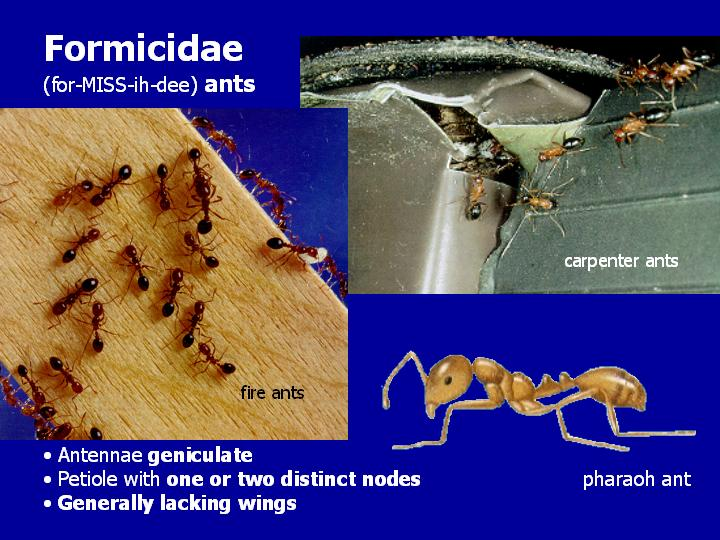 Formicidae: ants