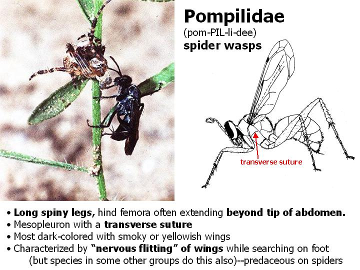Pompilidae: spider wasps