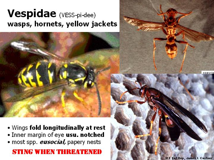 Vespidae: wasps, hornets, yellow jackets