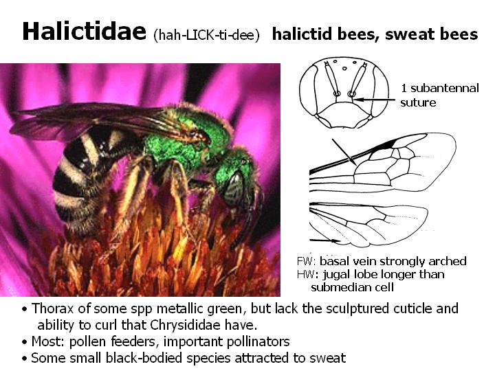 Halictidae: sweat bees