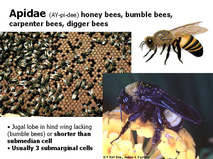 Apidae: honey bees, bumble bees, carpenter bees